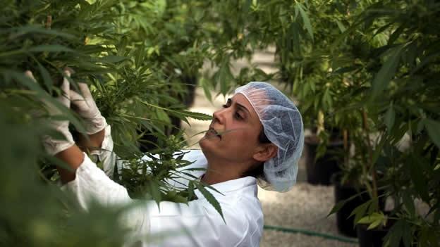 Municipios estarían interesados en plantar marihuana para uso terapéutico en nuestra región