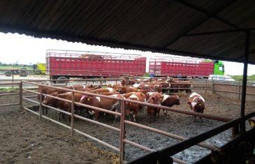 1.400 vaquillas maulinas exportadas a China