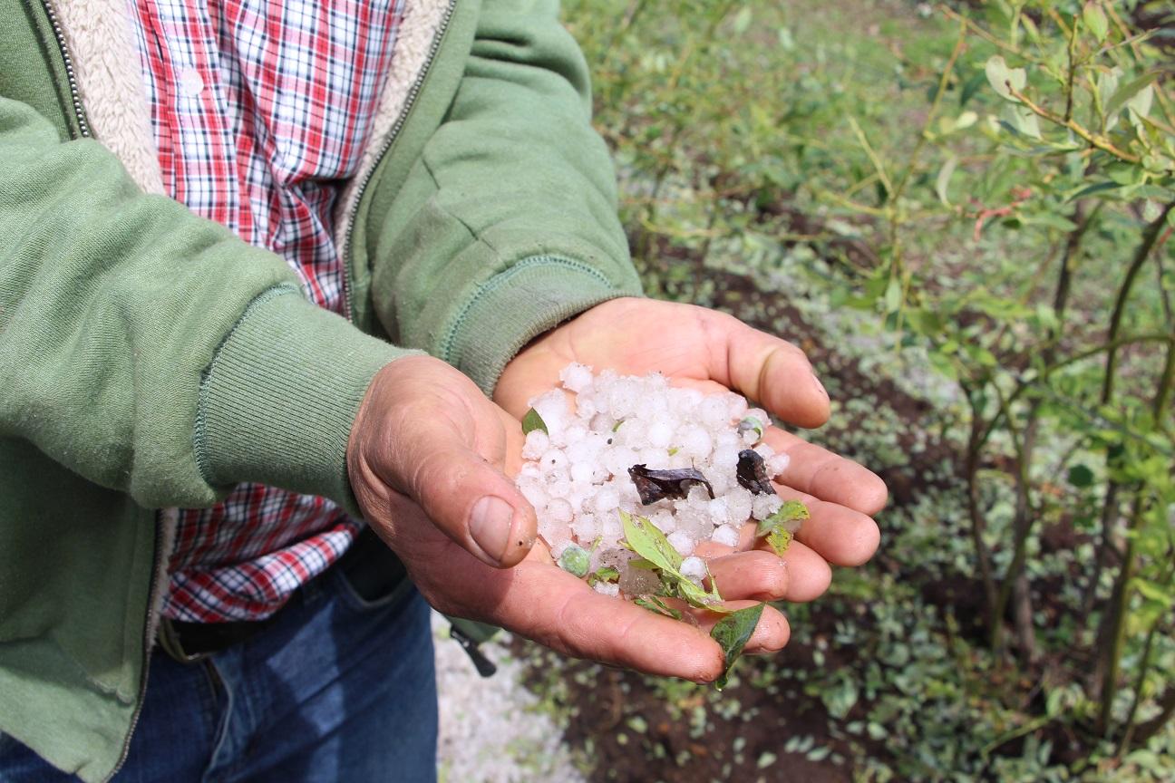 Agricultores podrán activar seguros de INDAP por granizada