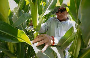 Concurso para productores maiceros convenio INDAP-GORE