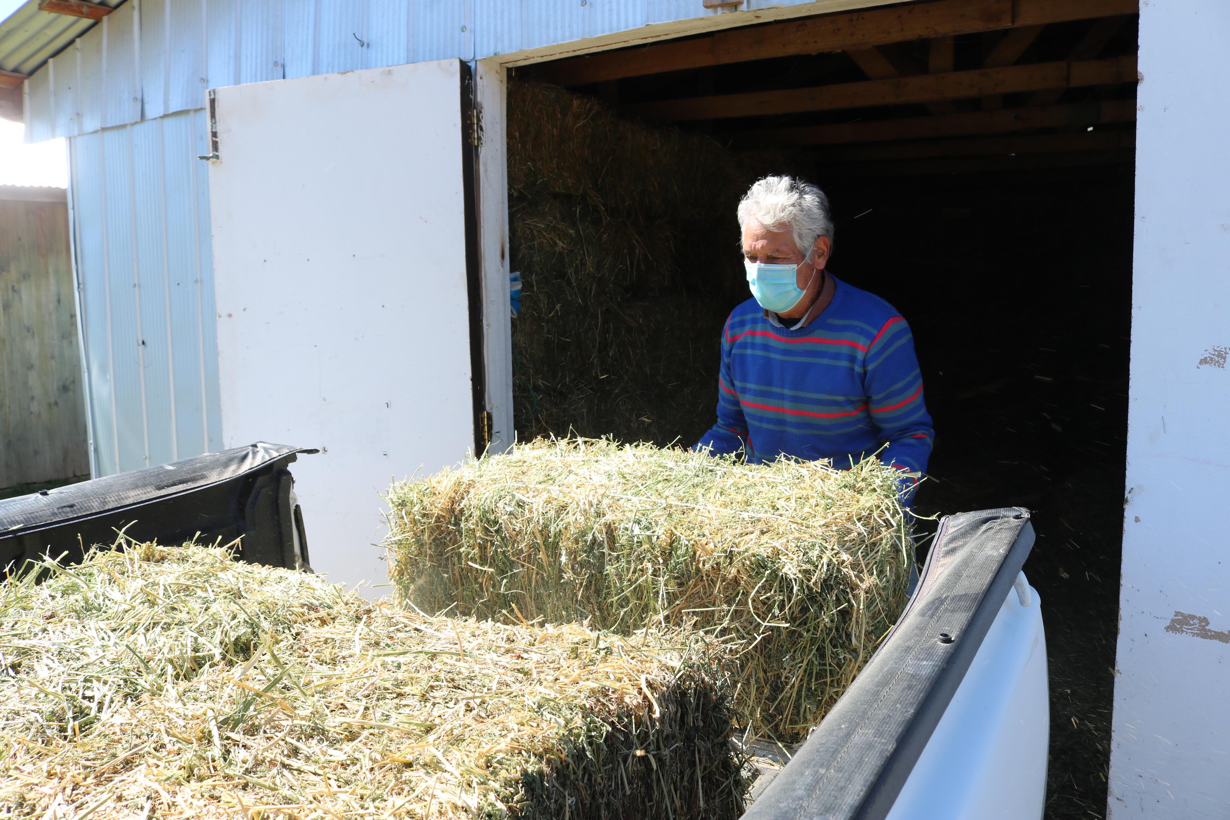 Pequeños y medianos agricultores de San Clemente recibirán 4 mil 500 fardos de forraje de parte del municipio